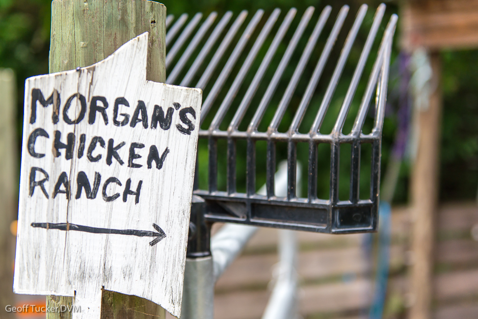 Morgan's chicken ranch