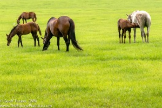 Mares and foals in an Ocala, FL field enjoying green summer grass