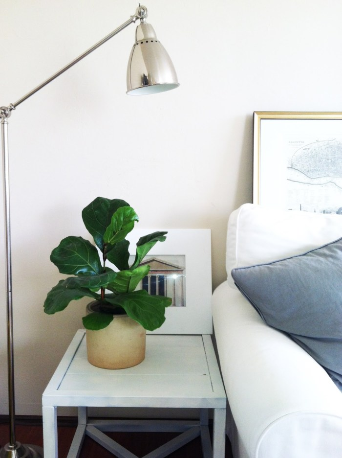 fiddle leaf fig table top