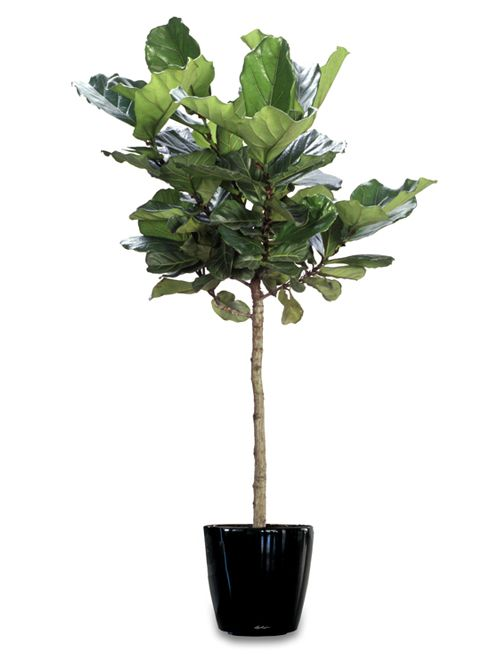 i have collected three fiddle leaf fig trees two in my office and one at home i suppose it just didnu0027t feel right until i had three house