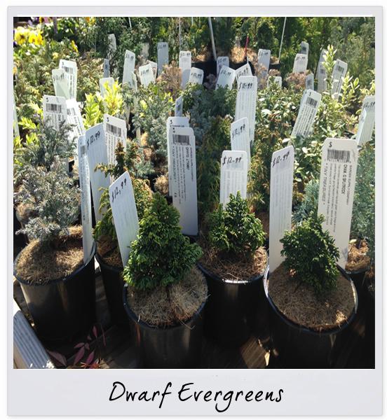 gsco evergreens