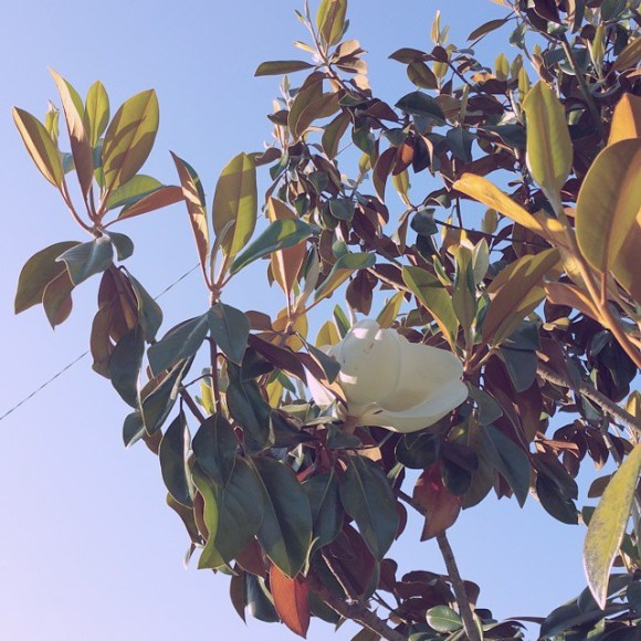 This_pretty_magnolia_caught_my_eye_on_the_afternoon_walk