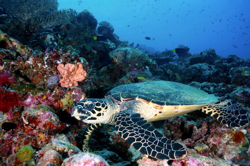 Discover Scuba Diving in Maldives Turthle