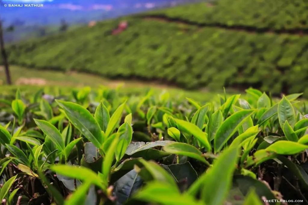 Munnar Tea Gardens 7 Day Kerala Itinerary