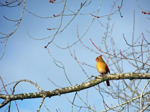 January, Female Cardinal