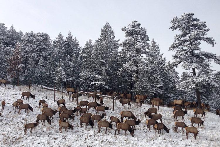elk-herd-winter