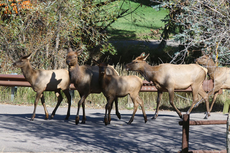 elk-traffic-jam