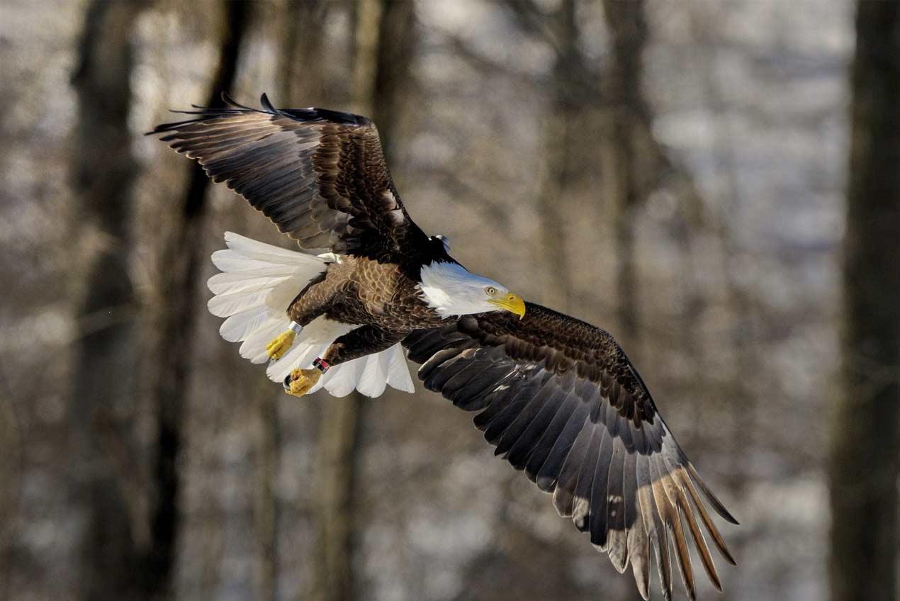 Bald Eagle - Evergreen Lake Birding