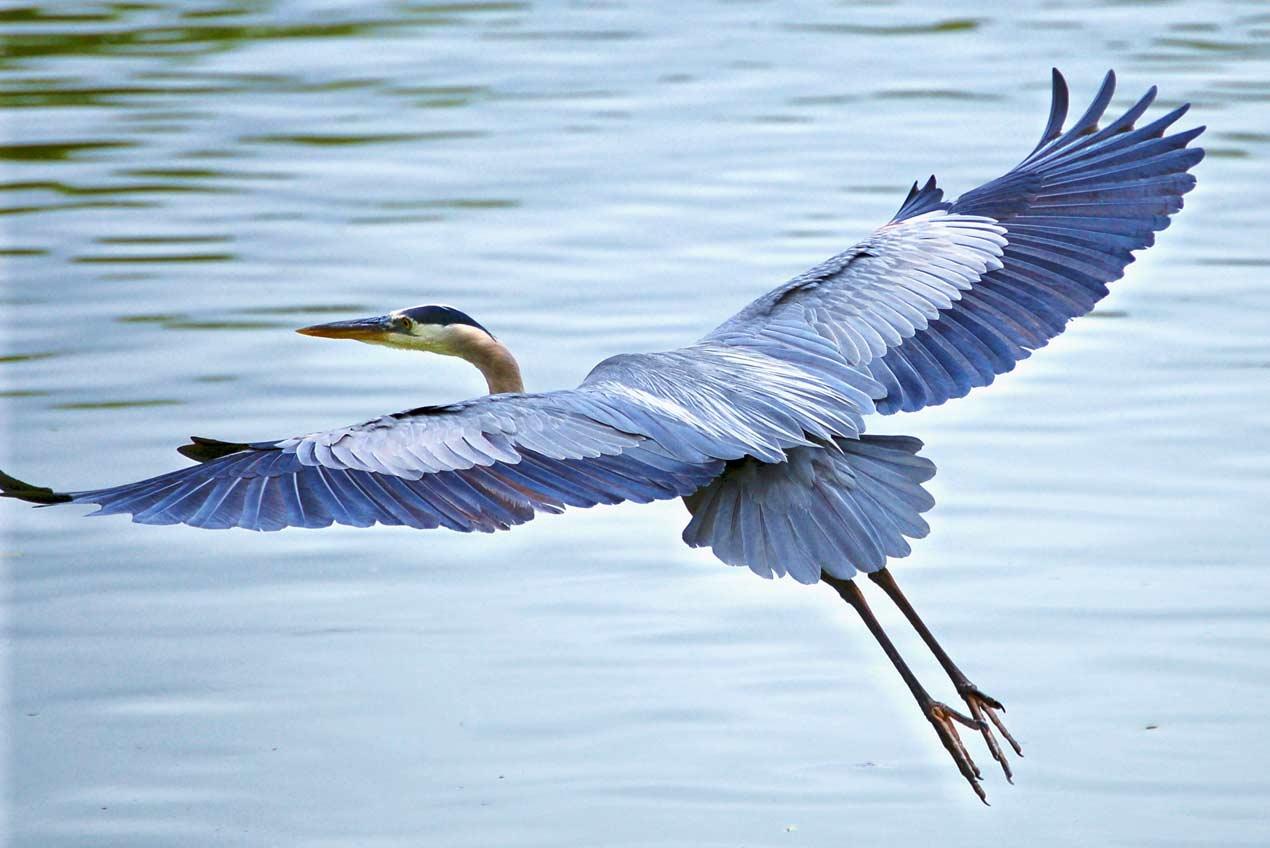 Blue Heron - Birding Evergreen Lake