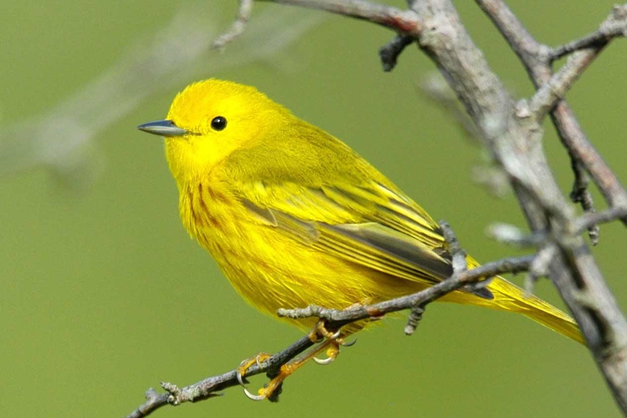 Yellow Warbler - Evergreen Lake