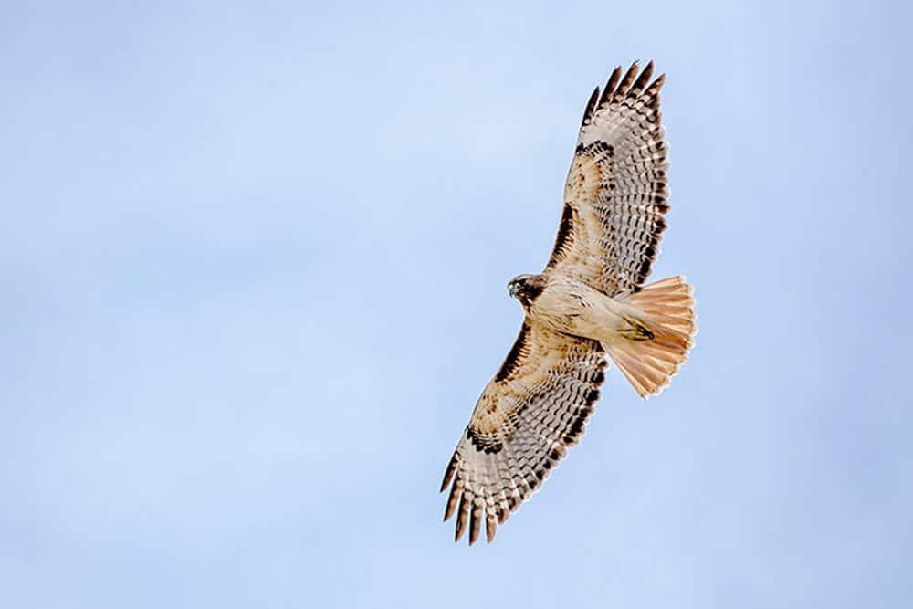 Hawk sighting at Evergreen Lake