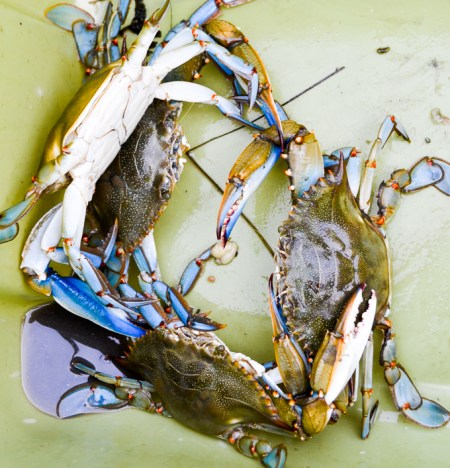 This is why they're called blue crabs. Did you know they're actually blue before you cook 'em?! | www.theeverykitchen.com