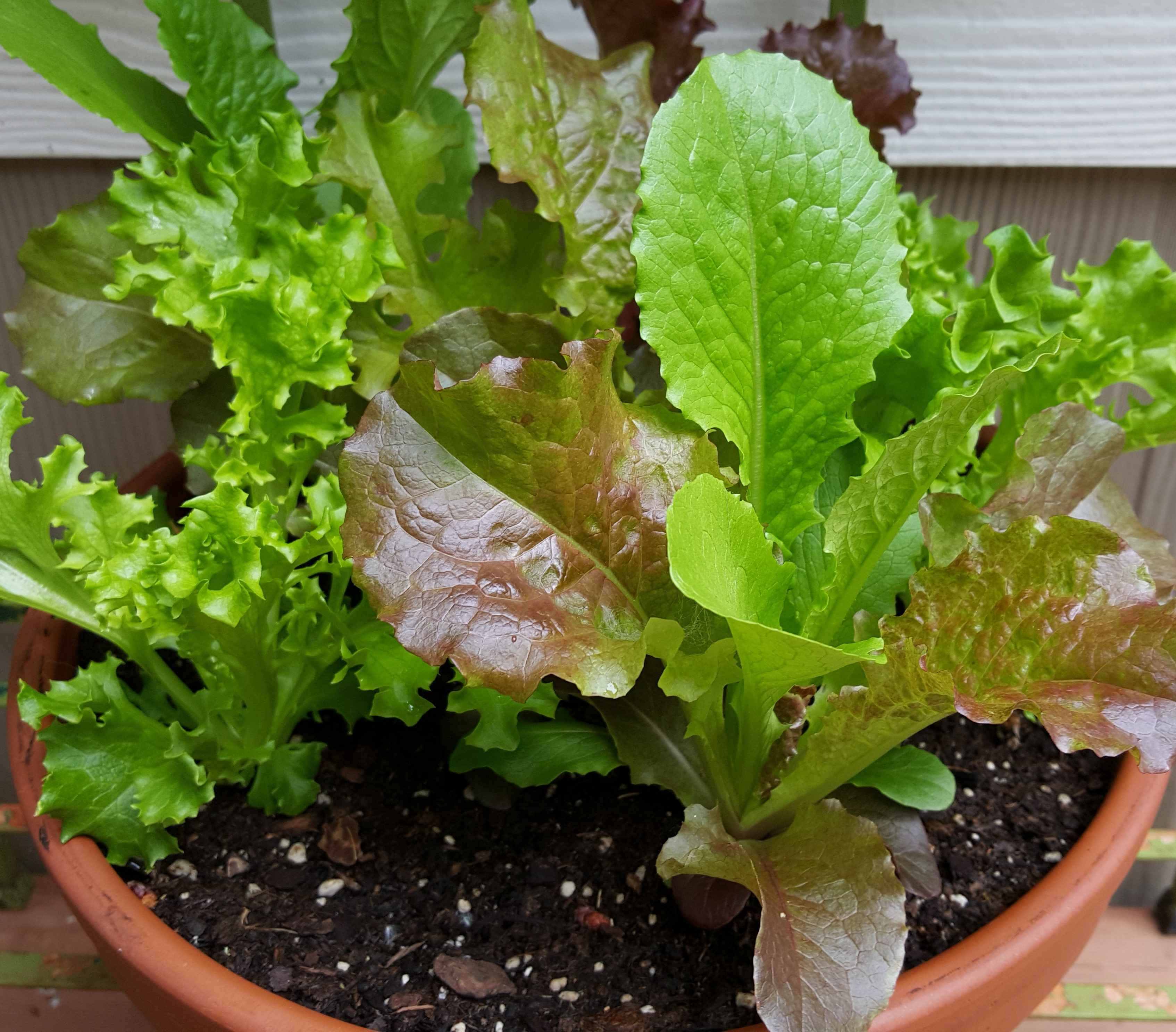 A bunch of reasons to grow lettuce in a pot