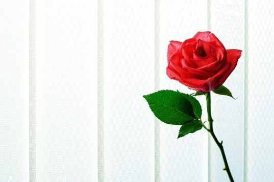 healing benefits of roses