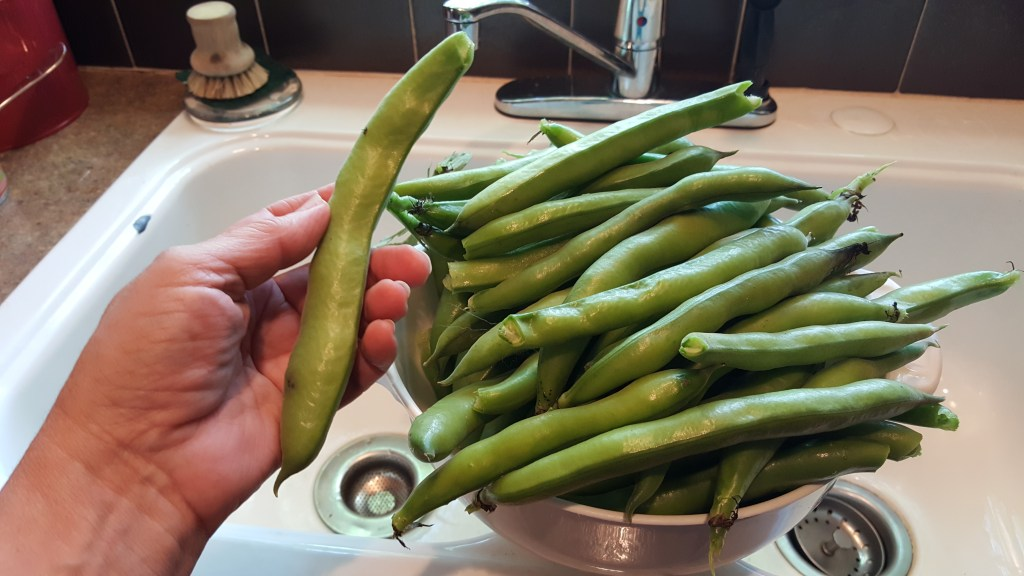 bowl of big whole fava beans