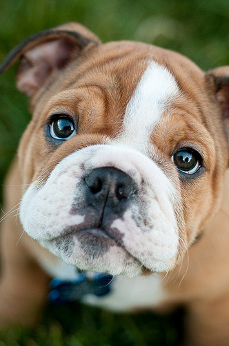 english bulldog sad photo
