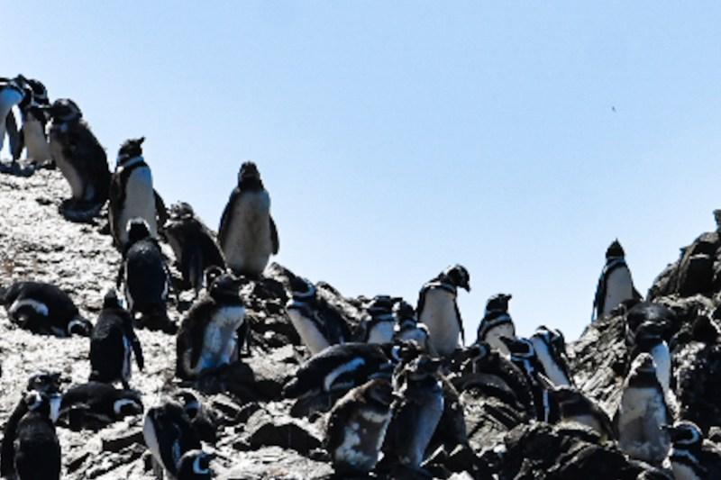 pingüinos en chile