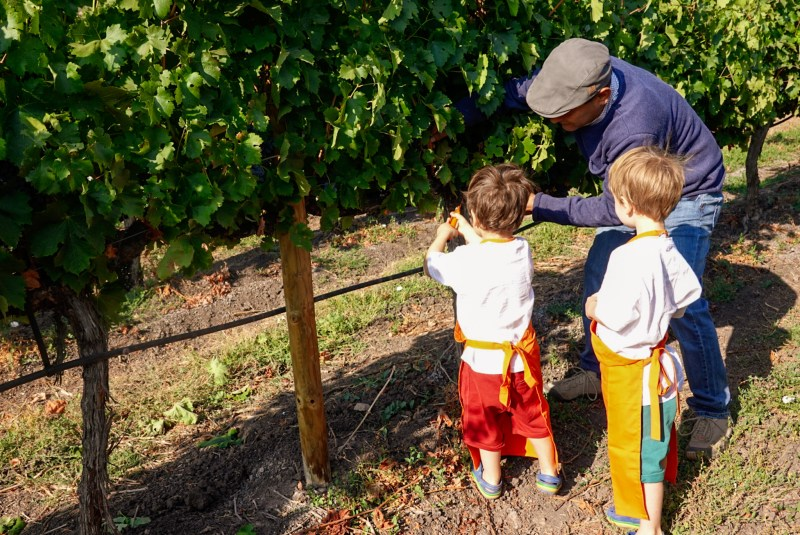 grape harvest at Viña MontGras