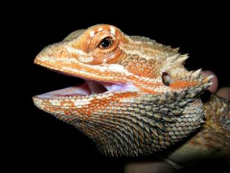 animal-bearded-dragon-lizard-39615