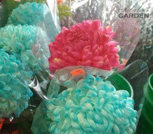 Chrysanthemums treated with blue dye
