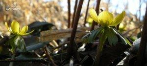 Eranthis winter aconite