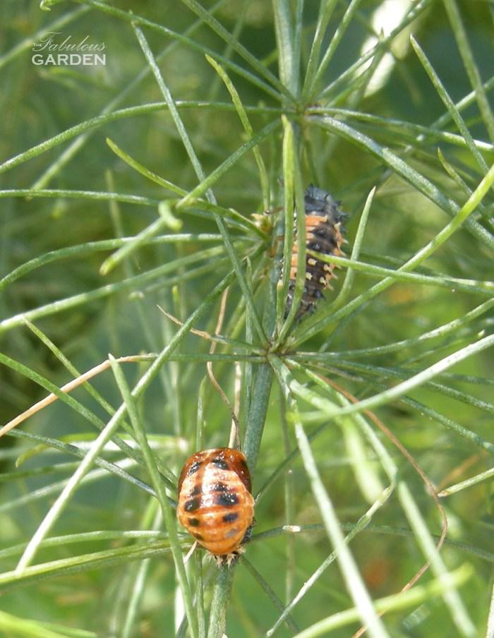 larva and pupa