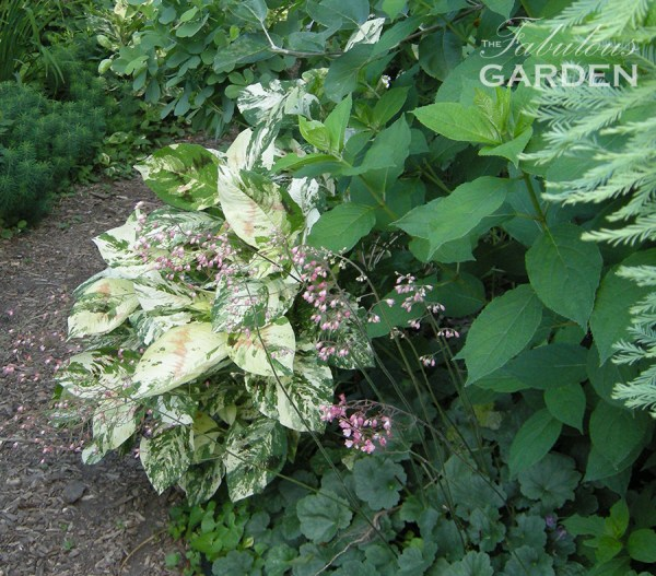 Persicaria with other shade plants