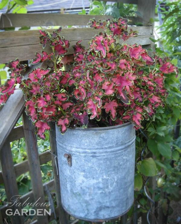 Coleus Ruffles Copper in a tin planter