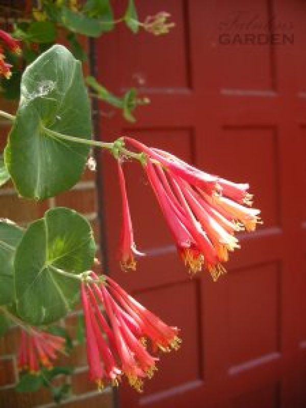 honesuckle blooms against red garage door