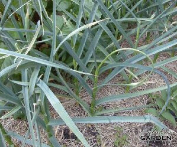 Jennifer's garlic patch, with garlic plants growing through a mulch of straw
