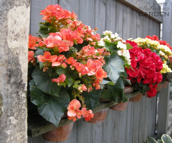 Begonias pots on wall