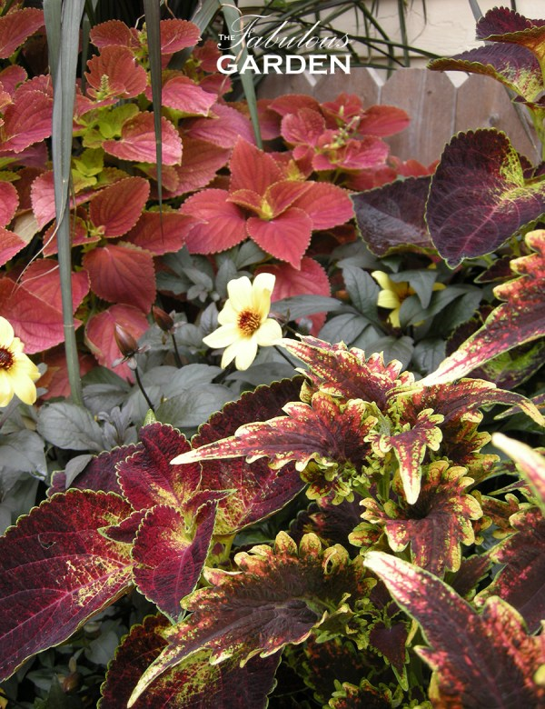 Colourful mix of coleus and a dark-leaved dahlia