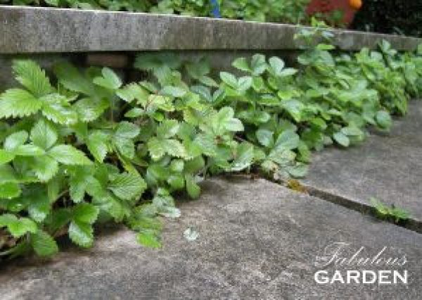 Strawberries visually soften the edges of stone steps