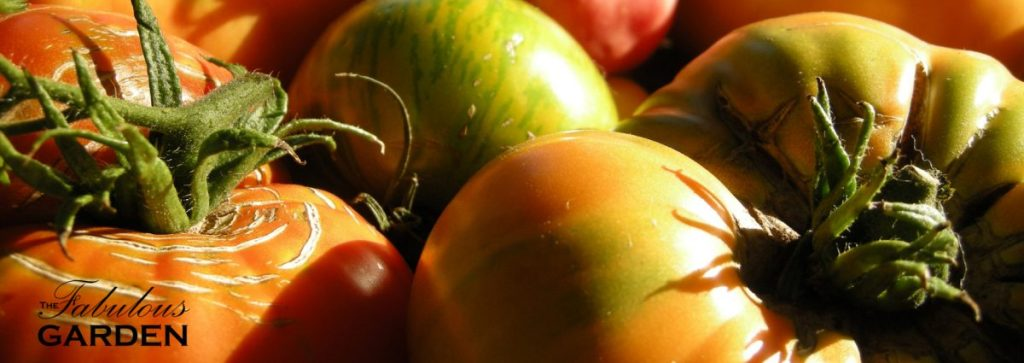 Heirloom tomatoes with cracked skins and calyx