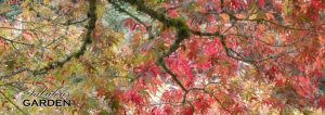 Japanese maples in fall colours at VanDusen Botanical Garden