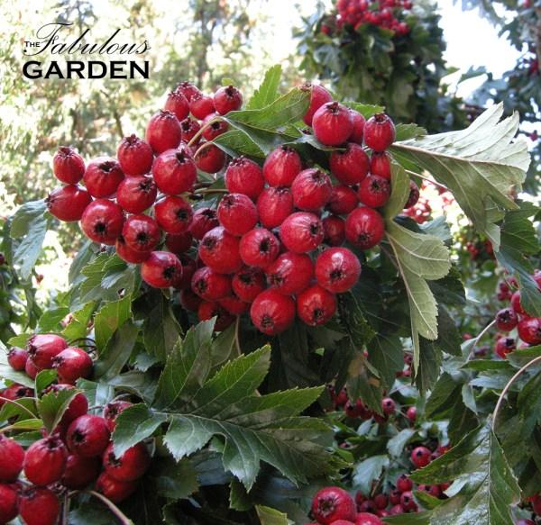 Chinese hawthorne berries