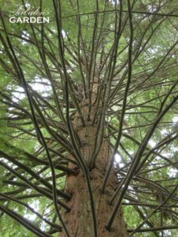 Looking up through a metasequoia