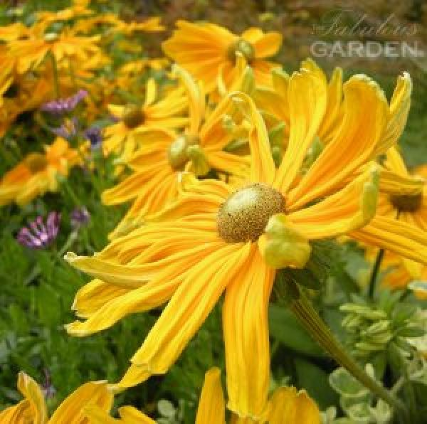 Rudbeckia with upturned petals