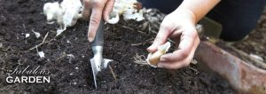 How to plant garlic - image of trowel and clove of garlic