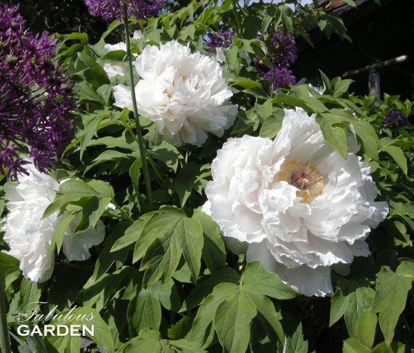 Tree Peonies How Do You Prune Them The Fabulous Garden