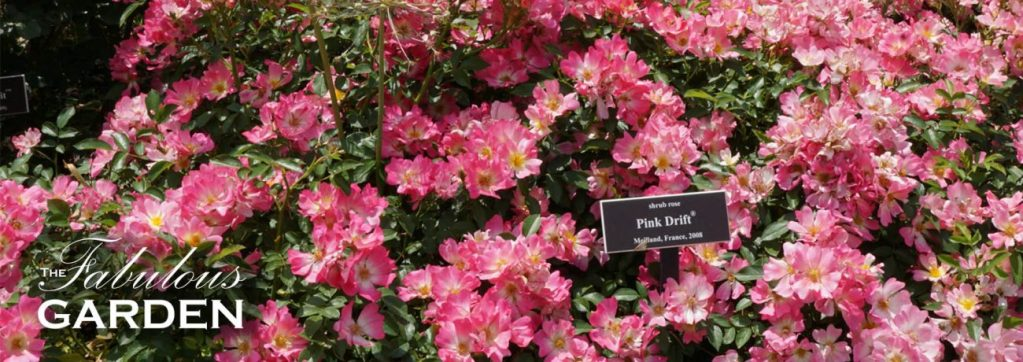 From the Peggy Rockefeller Rose Garden at the NYBG