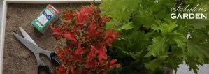 Coleus can be rooted from cuttings