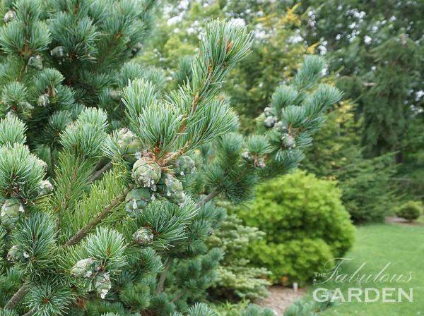 Pinus parviflora aoi - Pine at Whistling Gardens