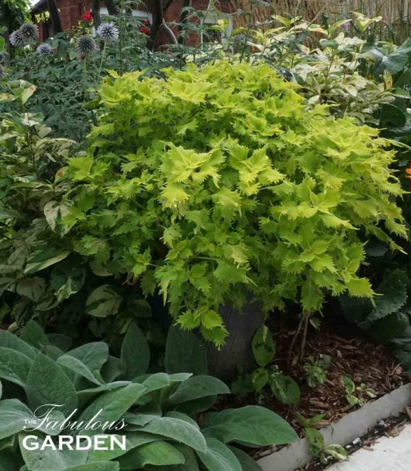 Wasabi coleus, grown from a cutting