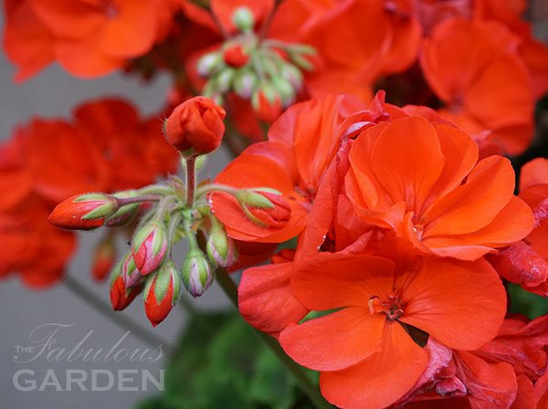 Geranium (zonal pelargonium) in bud and bloom