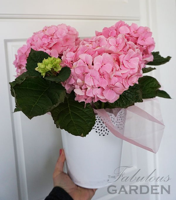 Pink hydrangea for Easter, Mother's Day, Spring