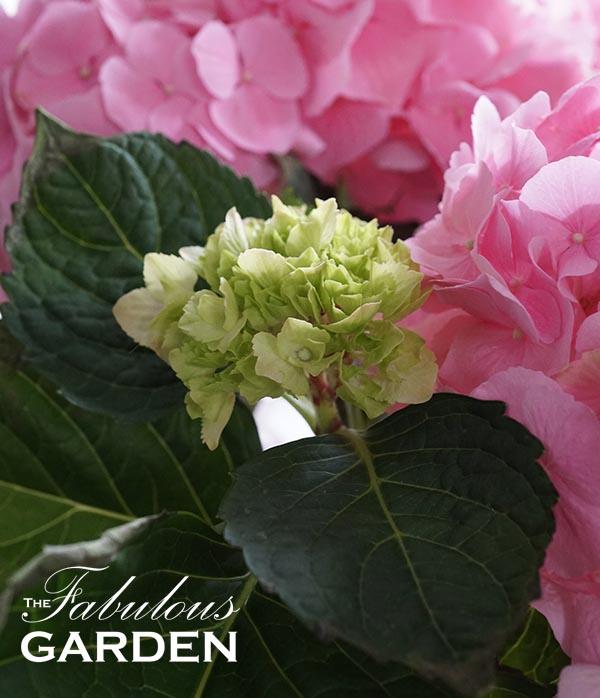 Hydrangea Pink Sensation