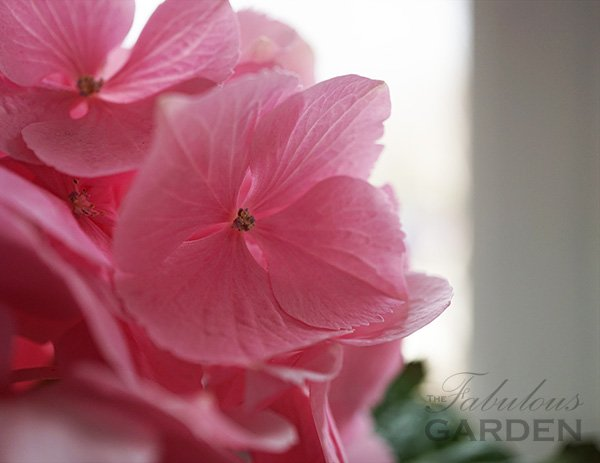 Hydrangea Pink Sensation - Can I plant it outside?