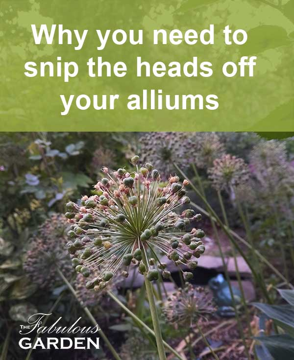 Alliums and why you need to snip the seedheads off