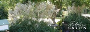How to tie back ornamental grasses without ruining the look of them